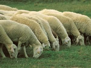 el-ovejero